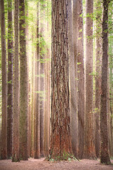 Californian Redwood Forest || THE OWAYS || VICTORIA (rhyspope) Tags: australia aussie vic victoria aire valley californian redwoods redwood plantation forest woods ray sun nature rhys pope rhyspope canon 5d mkii light beams great ocean road otway otways