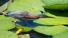 green heron (gillywizz) Tags: greenheron bird stlucia
