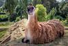 Aujourd'hui c'est Samedi. (musette thierry) Tags: animaux animalier animal musette thierry nikon d600 reflex zoo parc maubeuge france pasdecalais