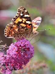 The Painted Lady (peterkelly) Tags: ontario canada northamerica digital canon 6d paintedlady butterfly butterflybush purple flower shrub orange wheatley