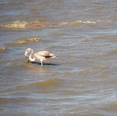 It's a solo flamingo! (Babethaude) Tags: animal sigean bird flamingo africanreserveofsigean solo