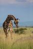 My, that grass smells good (Ring a Ding Ding) Tags: 2018 africa canon300mmf28 giraffacamelopardalistippelskirchi maasaigiraffe nomadlamai northernserengeti tanzania bokeh nature safari wildlife mararegion coth coth5 ngc npc