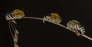Blue Banded Bees