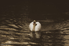 My soul is an enchanted boat, Which, like a sleeping swan, doth float Upon the silver waves of thy sweet singing. (Irina1010) Tags: swan bird gliding filters nature canon berry