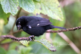 Thick Billed Seed Finch (male)_IMG_4436