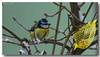 Mésange bleue - Cyanistes caeruleus (jamesreed68) Tags: mésange oiseau animal volatile 68 hautrhin grandest france nature canon eos 600d alsace