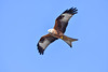 red kite blue flight (Paul Wrights Reserved) Tags: redkite bird birding birds birdphotography birdwatching birdinflight birdofprey birdofpreyinflight inflight flight flying