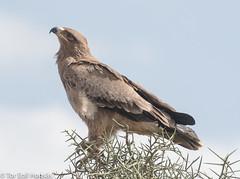 Tawny Eagle (hogsas) Tags: eagle eagles birds bird kenya raptors tawnyeagle nairobi nikon nikond500 nikkor200500 aquilarapax