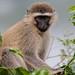 Vervet Monkey in the Plants