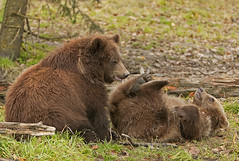 Two Brown Bear Cubs Playing (AlaskaFreezeFrame) Tags: grizzly brownbear grizzlybear bears bruin alaska alaskafreezeframe outdoors wildlife nature dangerous ursusarctoshorriblis mammal carnivore omnivore meadow grass fall claws canon telephoto powerful beautiful magnificent cubs playing wrestling
