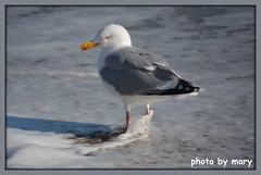 Gull having a paddle (maryimackins) Tags: gull water eastbourne wildlife sussex mary mackins
