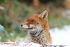 Waiting In The Snow....... (law_keven) Tags: fox urbanredfox foxes animals photography wildlifephotography wildlife redfox catford london uk england gardens snow snowday2018 snowday