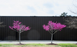 Vivid pink blossoms among leafless trees