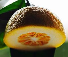 A lemon from my garden...HMM! (WhataWonderfullWorld!) Tags: agrume citron macro lemon macromondays citrus