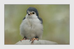 Pygmy Falcon (Christina's World-) Tags: raptor falcon small pygmyfalcon nature textures artistic coth5