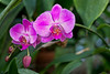 Crossed my Path (brev99) Tags: orchid ononesoftware on1photoraw2018 photoshopelements18 d610 sigma70mm28macro closeup greenbackground conservatory greenhouse nikviveza