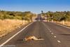 Grey Kangaroo, Outback, Australia (Manuel ROMARIS) Tags: australia camooweal outback greykangaroo road dead barkly queensland au