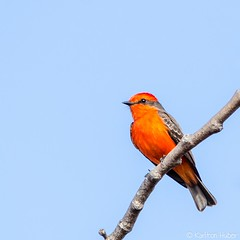 SJWR - Vermilion Flycatcher_5927 (www.karltonhuberphotography.com) Tags: 2017 bird birdphotography bluesky catchlight karltonhuber nature outdoors perched red sanjoaquinwildliferefuge smallbird southerncalifornia squareimage vermilionflycatcher vibrant wildlife