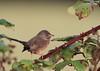 Fauvette pitchou (Michel Idre - 6 millions de vues merci) Tags: oiseau bird aves puydarrieux hautespyrénées fauvettepitchou