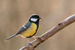 Cinciallegra (Parus major) (Federico Prisco) Tags: nikon nature d500 avifauna wildlife flickraward fly flickr birds 600mm tamron