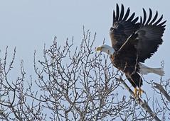 Bald Eagle...#1 (take off) (Guy Lichter Photography - 3.7M views Thank you) Tags: canon 5d3 canada manitoba wildlife animals birds eagle eagles baldeagle