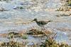 171005_Algarve_0004_Chevalier guignette, Ria Formosa (albertremoadi) Tags: chevalierguignette riaformosa