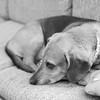 Deep Thought (andymudrak) Tags: 365 365days 365photochallenge bw squareformat bassethound beagle dog thinking deep thought wonder