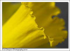 Daffodil Trumpet close up (Paul Simpson Photography) Tags: paulsimpsonphotography nature daffodil trumpet naturephotography yellowflower sonya77 february2018 macrophotography macro imagesof imageof nationalflowerofwales stilllife