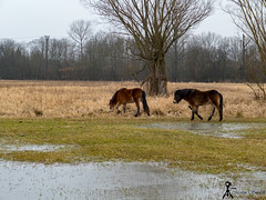 Wild horse (martin.smolak) Tags: wild horse nature tree grass water swamp animal czech republik jaromer bird park josefov meadow field forest wood sky