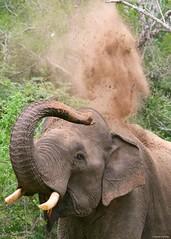 IMGP0570 Dust bath (Claudio e Lucia Images around the world) Tags: elephant srilanka yala yalanp dust dustbath pentax pentaxk3ii sigma sigma150500
