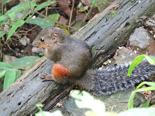Longtan/龙潭 - Dremomys pyrrhomerus/Red-hipped Squirrel/红腿长吻松鼠 DSCN8249