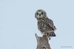 Short-eared Owl on a stump (Earl Reinink) Tags: bird wildlife nature animal photography earlreinink earl reinink owl raptor predator tree perch stump winter eyes shortearedowl rdddtaudza