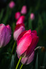Flowers-Tulips-31.jpg (Chris Finch Photography) Tags: tulipasaxatilis spring tulip pinktulip flower tepals tulipalinifolia springblooming chrisfinchphotography perennial redtulip petal herbaceousbulbiferous petals tulipa pinktulips flowers tulipaturkestanica perennials herbaceous bloom bulb tulipagesneriana bulbs tulipaarmena lilioideae chrisfinch herbaceousbulbiferousgeophytes macrophotography tulipaclusiana blooming tulipahumilis redtulips wwwchrisfinchphotographycom tulips
