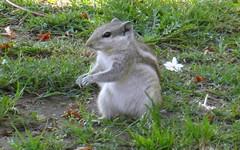 delhi grey fur (kexi) Tags: delhi india asia qutubminar animal furry squirrel nature grey green grass samsung wb690 february 2017 instantfave