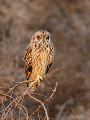 Short Eared Owl (just4memike) Tags: bird blurredbackground eared eye feather nature owl perch raptor short talon wildlife wing