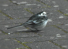 Keeping one foot warm (bryanilona) Tags: bird piedwagtail foot feathers ground citrit birdwatcher