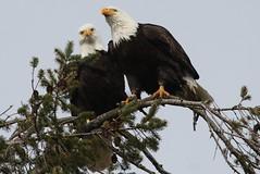 Amorous Bald Eagles (Terrance Carr) Tags: dncb 201809 reifel terry carr terrycarr 20180227 2018 february