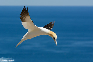 Northern Gannet looking for its nest