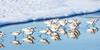 Piping plovers (Beth Bennett & Gérard Cachon) Tags: sanfrancisco shore beach landsend goldengate nationalrecreationalarea plover piping bakerbeach