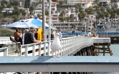 From the archives 1 (Kerri Lee Smith) Tags: gull seagull sanclemente california pier beach fishing autotags archives
