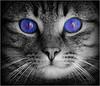 blue monday (EOS1DsIII) Tags: eos1dsiii deutschland germany frankfurt micky katze cat bw schwarzweis blue blau augen eyes