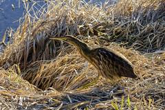 010118 BitternatHome 4x (wildcatlou) Tags: nisquallynationalwildliferefuge winter nature pond water grasses bird americanbittern outdoors wildlife