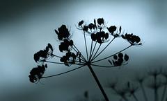 On the verge (GillK2012) Tags: nature wildflower seedhead silhouette verge cyan huw cowparsley umbellifer wednesday anthriscussylvestris