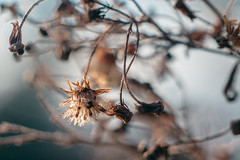 Winter nature (drop_m) Tags: vintage vintagelens old oldlens manual manuallens manualfocus dof deepoffield deep field primelens prime canon 70d canon70d pancolar50mm18 pancolar50mmf18 pancolar pancolar50mm carlzeissjenapancolar carlzeissjenapancolar50mmf18 carl carlzeiss zeiss jena f18 50mm winter italy 2018 sky cold calm dreamy bokeh nature naturallight natural handheld flower leaf leaves dry light highlights extensiontube extensiontubes extensionring extension extensionrings 7dwf closeup macro