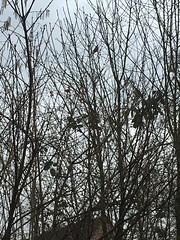 Gimpel, NGIDn825179686 (naturgucker.de) Tags: ngidn825179686 naturguckerde gimpel langenhagenkaltenweideweiherfeldwestgrünkeile cgunterhalle