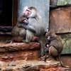 Family Portrait (Nige H (Thanks for 12m views)) Tags: nature animals monkeys baboons familyportrait babyanimal babybaboon babymonkey paigntonzoo