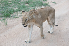 Southern African Lioness (Jim Nicholson) Tags: lion lioness nikon d850 nikond850 nikkor80400mmf4556 za southafrica kruger thornybush pantheraleomelanochaita pantheraleo