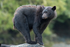 Scruffy (Melanie Leeson) Tags: canadianwildlife melanieleesonwildlifephotography mammals blackbear northamericanwildlife mammalsofnorthamerica britishcolumbiawildlife blingsister ursusamericanus scruffy