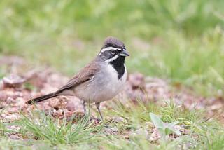 Black-throated Sparrow male habitat shot Lost Dutchman park az