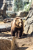 Winter at the Zoo (Fred Ortlip) Tags: bears stlouiszoo stlouis grizzlybear zoos